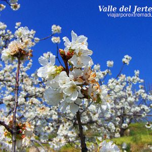 Cherry Tree Blossom Feast in the Valley of Jerte