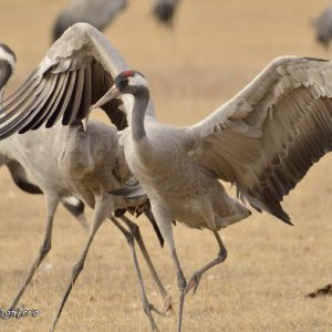 The crane (Grus grus) in Extremadura